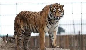 Seekor Harimau