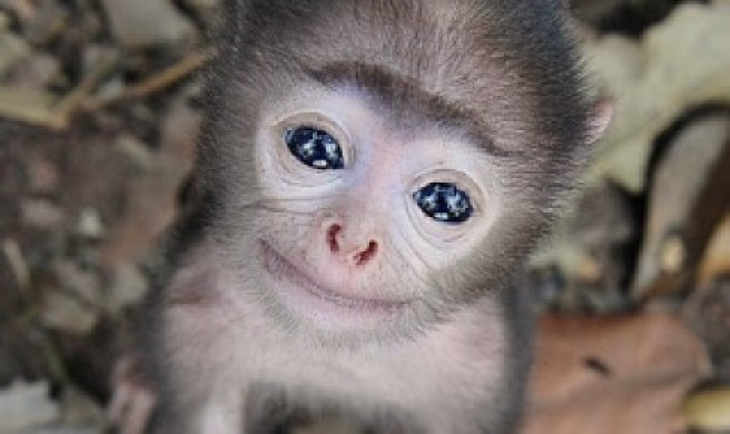 Monyet nangis